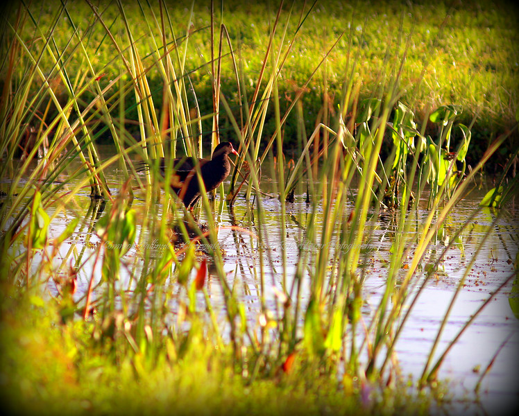 Common Gallinule ....Clearwater,Fl      © 2014 RobertLesterPhotography.com