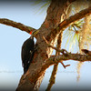 Pileated Woodpecker FEM....Clearwater,Fl      © 2014 RobertLesterPhotography.com