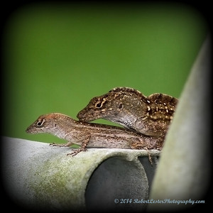 2014-06-01_IMG_0560__Brown Anole ,Clearwater,Fl
