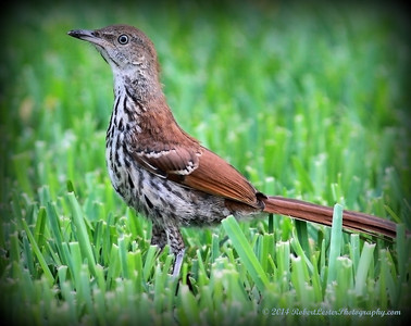 2014-06-01_IMG_0606__Brown Thrasher,Clearwater,Fl