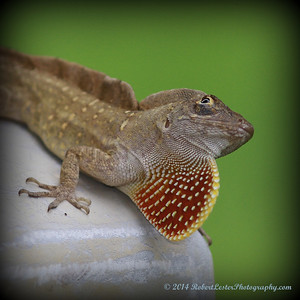 2014-06-01_IMG_0539__Brown Anole ,Clearwater,Fl
