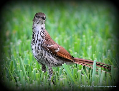 2014-06-01_IMG_0608__Brown Thrasher,Clearwater,Fl