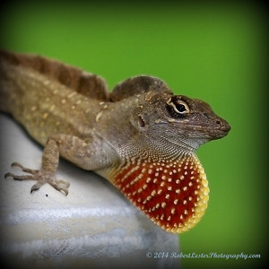2014-06-01_IMG_0538__Brown Anole ,Clearwater,Fl