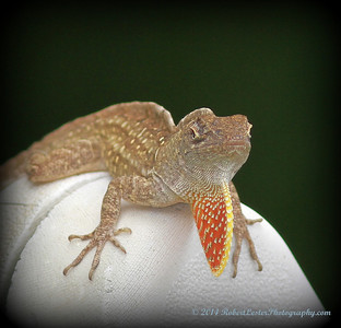 2014-06-01_IMG_0550__Brown Anole ,Clearwater,Fl