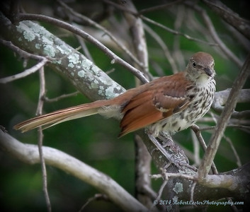 2014-06-01_IMG_0603__Brown Thrasher,Clearwater,Fl