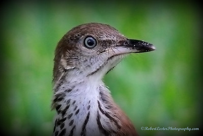 2014-06-01_IMG_0609__Brown Thrasher,Clearwater,Fl