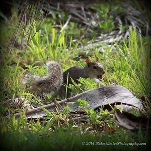 2014-06-01_IMG_0510__neighborhood squirrel ,Clearwater,Fl