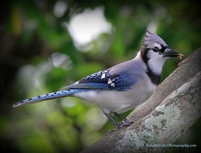 2014-06-01_IMG_0471__Blue Jay,Clearwater,Fl