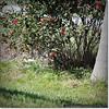 2014-06-06_IMG_0797__Neighbor's bush,Clearwater,Fl