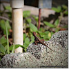 2014-06-06_IMG_0798__Anole Lizard,Clearwater,Fl