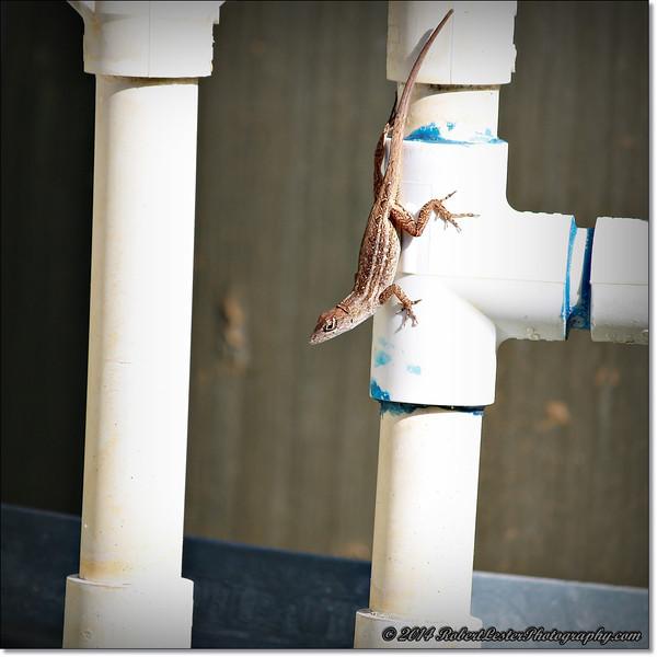 2014-06-06_IMG_0801__Anole Lizard,Clearwater,Fl