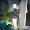 2014-06-06_IMG_0845__Anole Lizard,Clearwater,Fl
