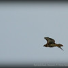 Red-tailed hawk...Clearwater,Fl   ©2014 RobertLesterPhotography.com