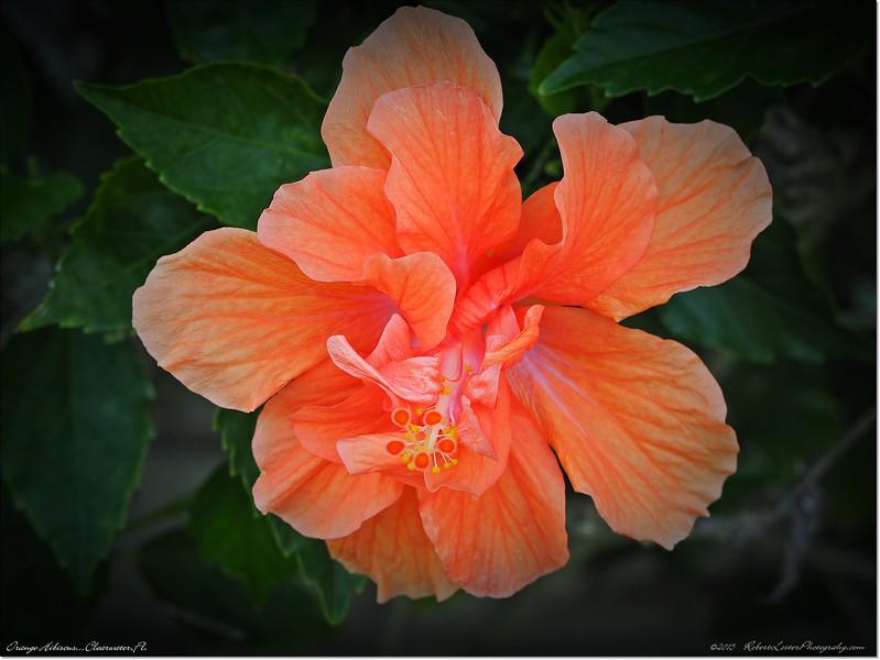 2015-03-12_P3121775_Orange Hibiscus,Clearwater,Fl