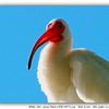 "White Ibis   <a href=""http://www.PhotosRUs2008.com"">http://www.PhotosRUs2008.com</a>   Bob Lester   All rights reserved"