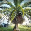 2017-03-01_P3010021_Palm Trimming,Clwtr,Fl