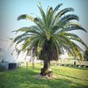2017-03-01_P3010022_Palm Trimming,Clwtr,Fl
