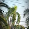 2017-03-01_P3010012_Palm Trimming,Clwtr,Fl