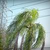 2017-03-01_P3010013_Palm Trimming,Clwtr,Fl