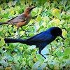 2017-03-24_P3240041_ Boat-tailed Grackle,Crescent Lake