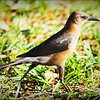 2017-03-24_P3240040_ Boat-tailed Grackle,Crescent Lake