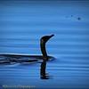 2017-03-24_P3240013_ Cormorant,Crescent Lake