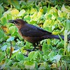 2017-03-24_P3240038_ Boat-tailed Grackle,Crescent Lake