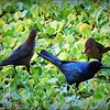 2017-03-24_P3240045_ Boat-tailed Grackle,Crescent Lake