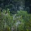 2017-07-03_anhinga and boat-tailed grackle,Chautauqua Park_P7030755