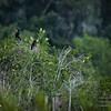 2017-07-03_anhinga and boat-tailed grackle,Chautauqua Park_P7030756