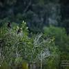 2017-07-03_anhinga and boat-tailed grackle,Chautauqua Park_P7030758