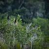 2017-07-03_anhinga and boat-tailed grackle,Chautauqua Park_P7030754