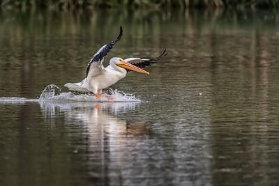 October 18, 2018...Pelican landing at White Rock Lake, Dallas