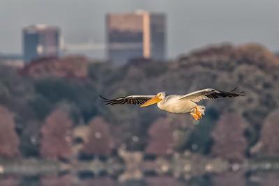 Pelican at White Rock Lake