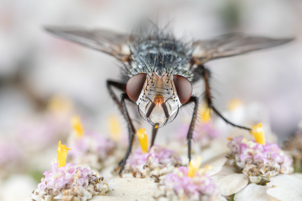A beautiful Fly Eating Pollen from Yarrow Flowers