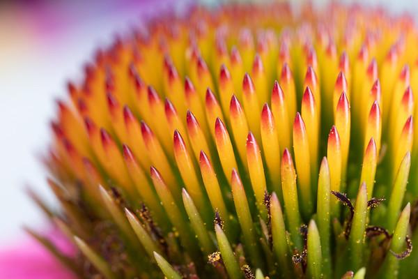 Purple Coneflower Closeup