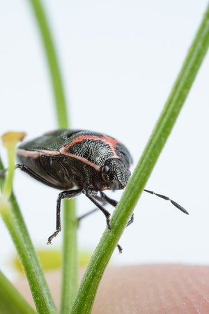Tiny Twice Stabbed Stink Bug on Dill