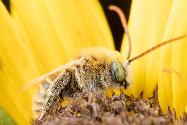Male Longhorn Bee - Mellisodes Bee on Sunflower