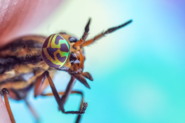 Deer fly with a bright blue background