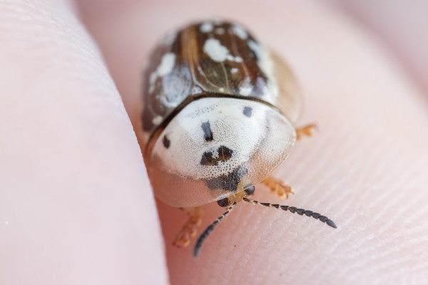 A small tortoise beetle on a finger