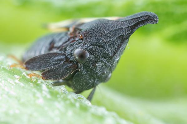 Small Black Treehopper on Sunflower Stem