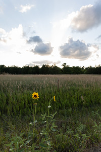 Sunset and Sunflower next to a grassy field