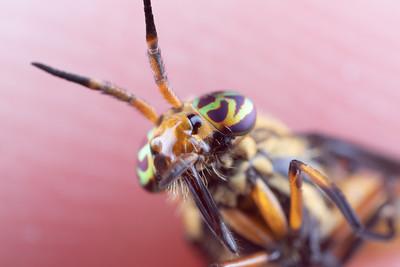 Macro Photo of a Deer Fly's Head