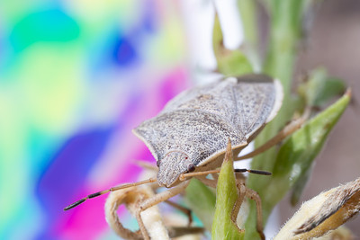 Side view of a Spined Soldier Bug Adult on a Sunflower Stalk with Colorful Background