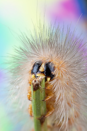 Fuzzy Caterpillar on Clover with Black and Yellow Face