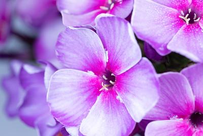 Purple and Pink Phlox Flowers