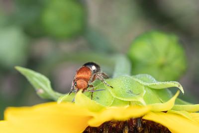 Female Flower Wasp on a Sunflower