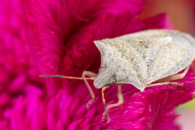 Side view of a Spined Soldier Bug Adult