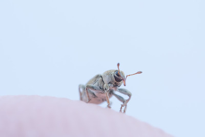 Tiny Weevil on a Finger tip