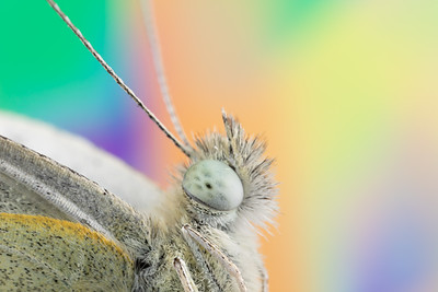 Detailed view of a Cabbage Moth Head